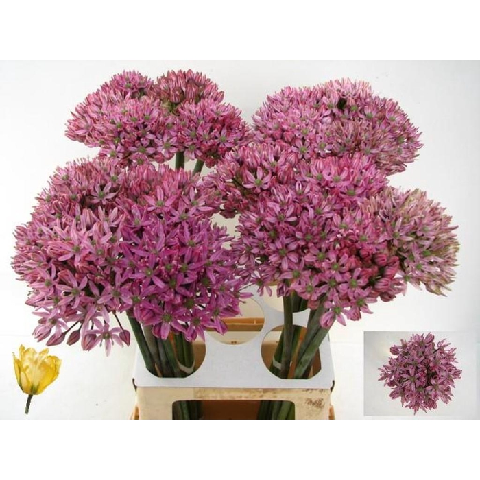 <h4>Allium Pink Jewel</h4>