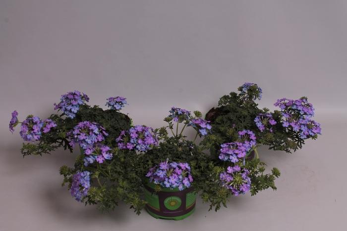 <h4>Verbena Magelana Lilac</h4>