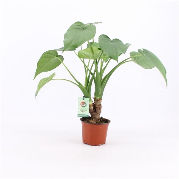 <h4>Alocasia Cucullata op stam</h4>