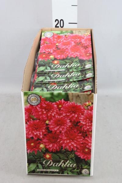 <h4>Dahlia   ...flowerbulbs</h4>