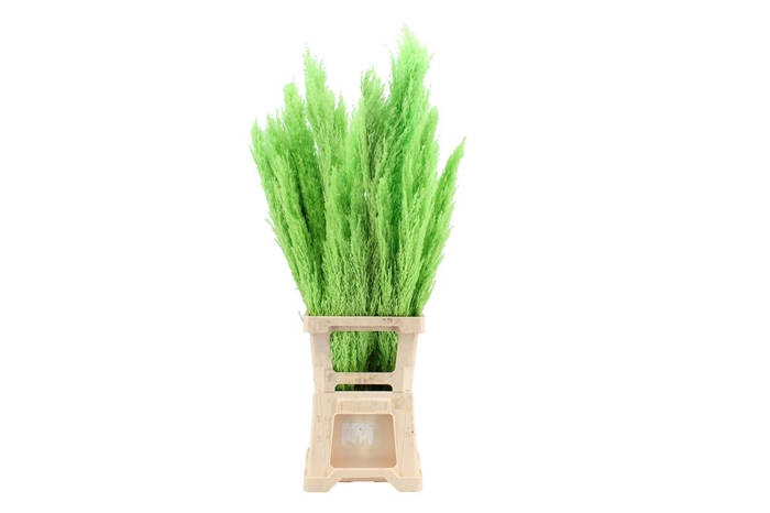<h4>Pres Plumero Silvestre Apple Green (5 Stems Bunch)</h4>