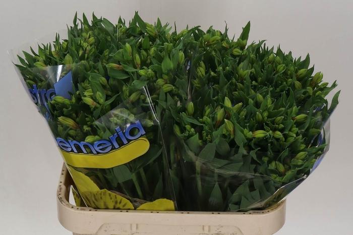 <h4>Alstroemeria Lemon</h4>