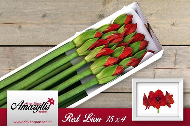 <h4>Amaryllis Red Lion</h4>
