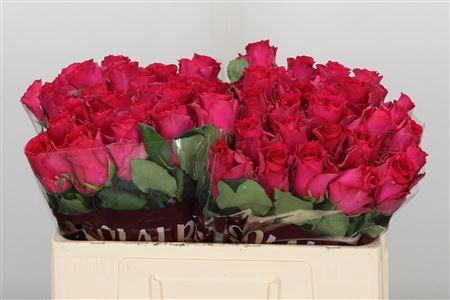 <h4>R Gr Pink Rhodos</h4>