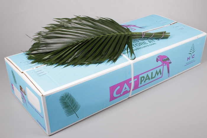 <h4>Catpalm</h4>