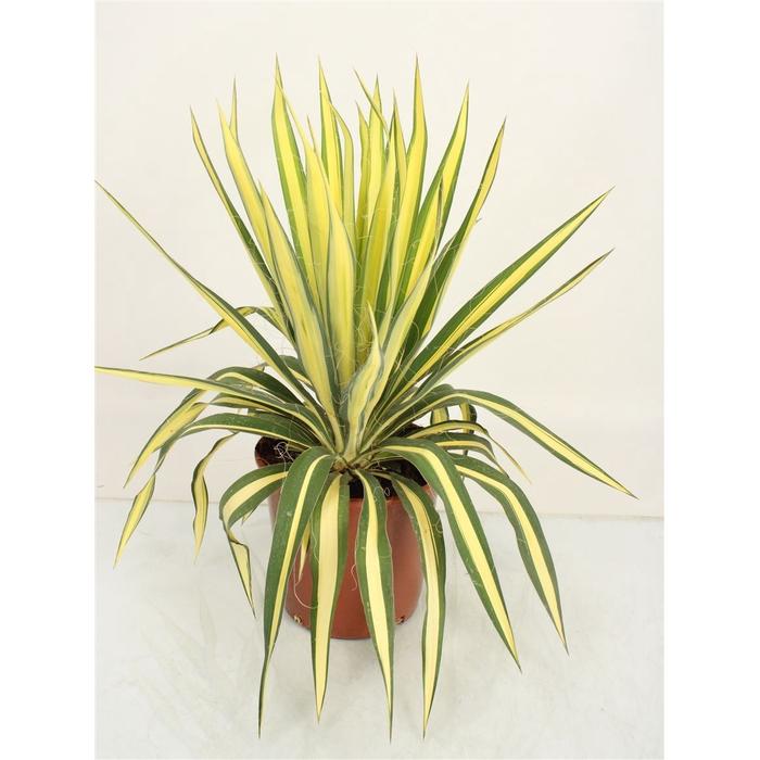 <h4>Yucca Filamentosa Color Guard</h4>