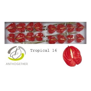 Anthurium Tropical