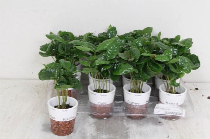 <h4>Coffea Arabica In Pots With Deco #</h4>