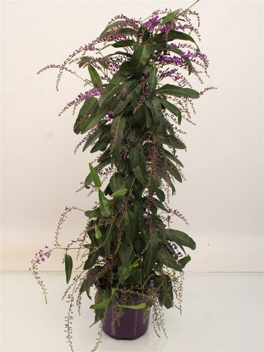 <h4>Hardenbergia Purple Pyramid</h4>
