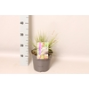 vaste planten 19 cm  Carex oshimensis Evergold