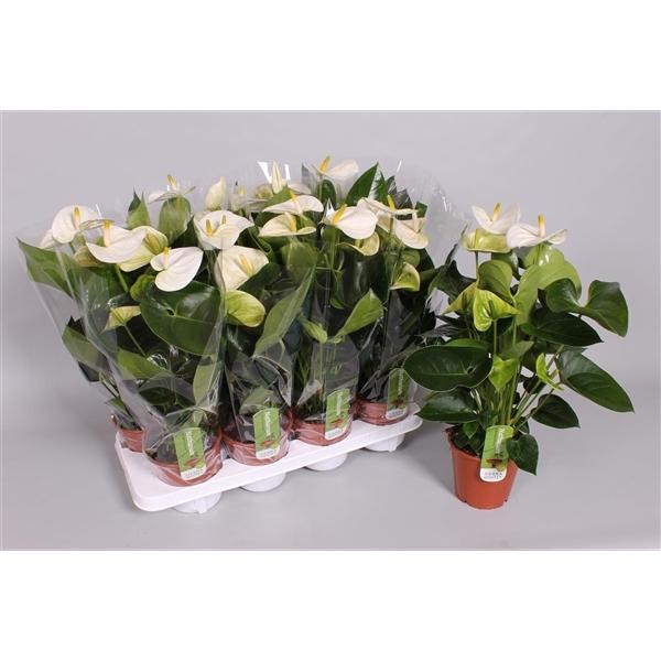 <h4>Anthurium Andr.Sierra White</h4>