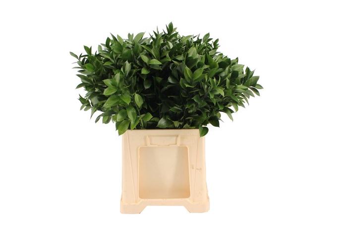 <h4>Ruscus Hypophyllum 70</h4>