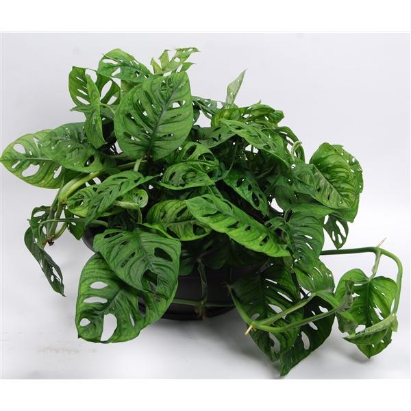 <h4>Monstera obliqua 'Monkey Leaf' schaal 40 cm</h4>