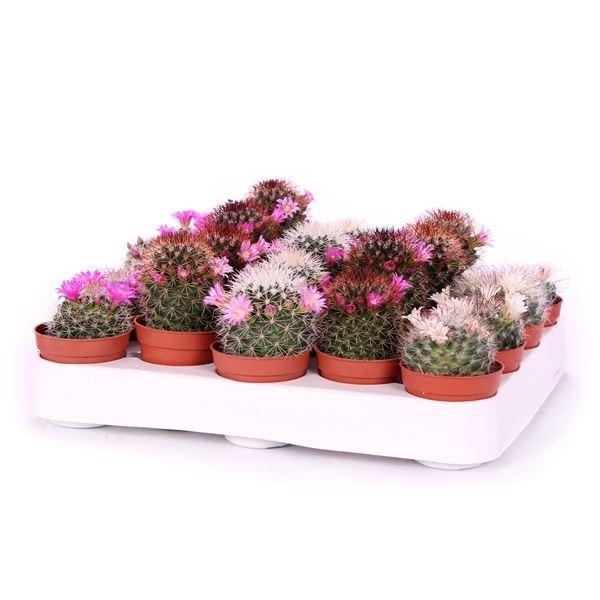 <h4>Cactus bloeiend gemengd</h4>