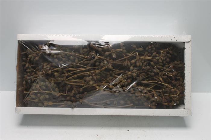 <h4>Mushroom Gum Branch (50 St)</h4>