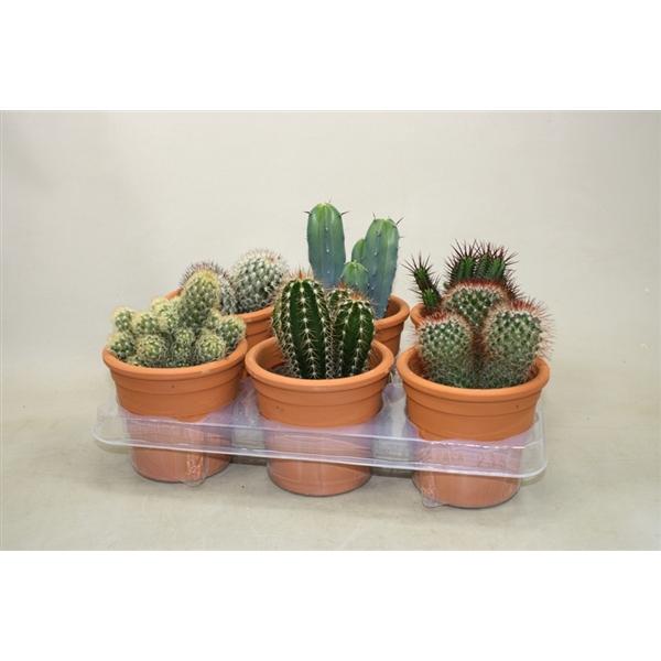 <h4>Cactus mix 10,5 cm. in cilinderpot</h4>