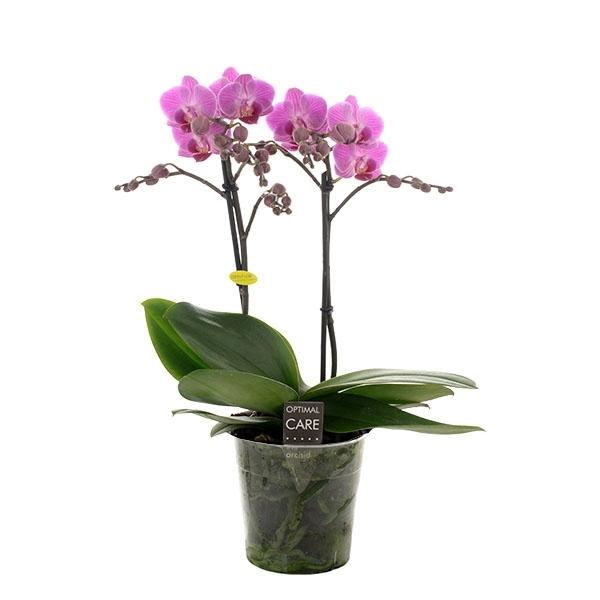 <h4>Phalaenopsis mf. Vienna</h4>