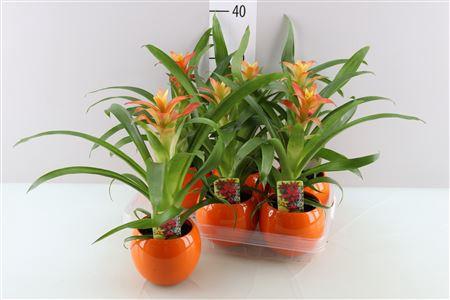 <h4>Guzm Jazz Orange Bolpot</h4>
