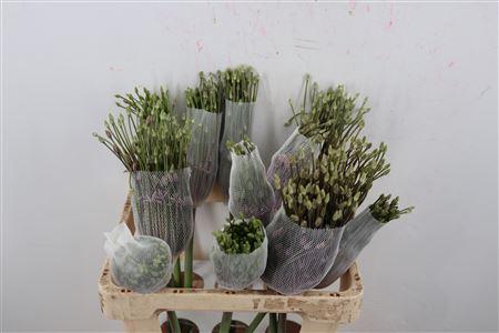 <h4>Allium Schubertii X 12 Extra</h4>