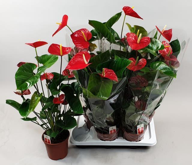 Anthurium Red Winner