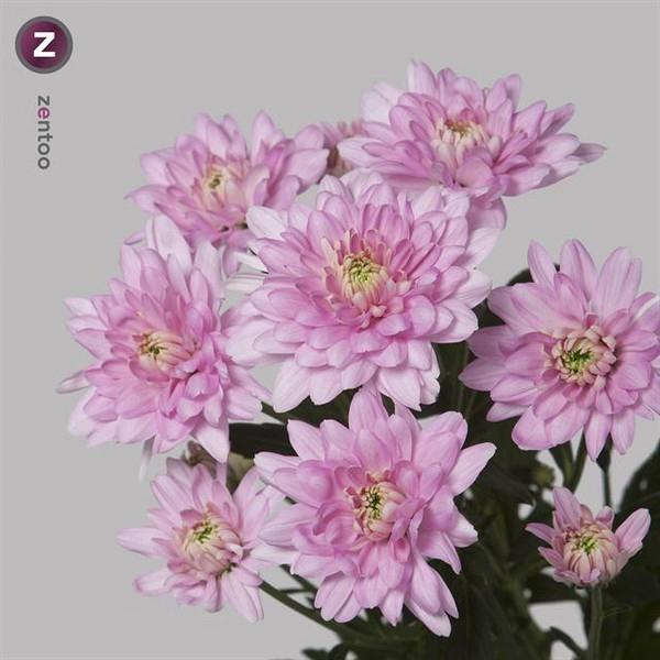 <h4>Chrys. tros Baltica Pink</h4>