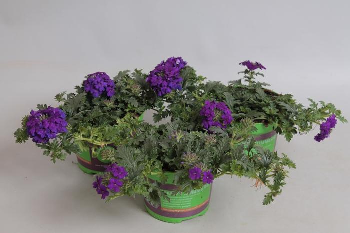 <h4>Verbena Magelana Violet</h4>