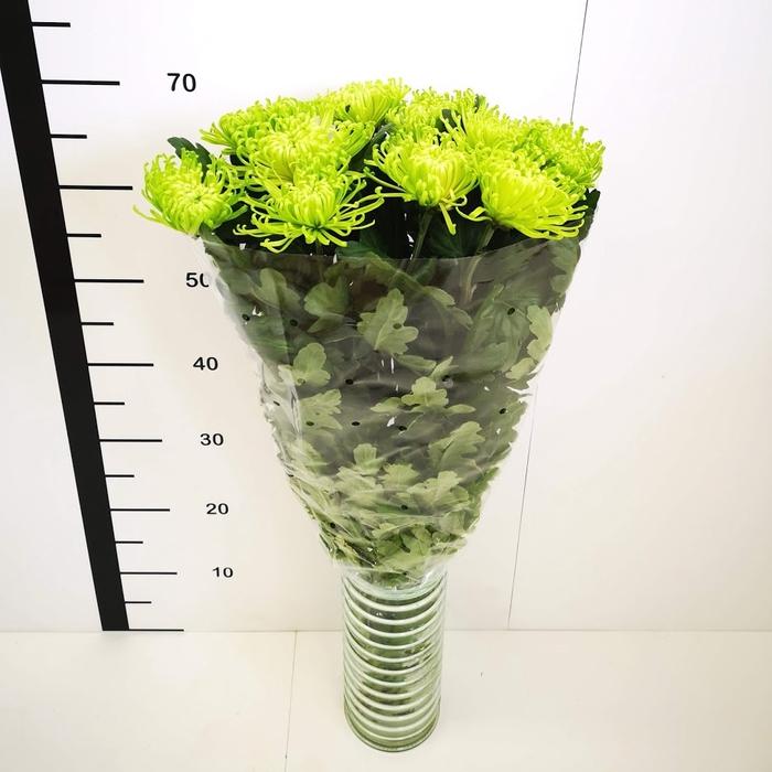 <h4>Chrysanthemum monoflor anastasia verde</h4>