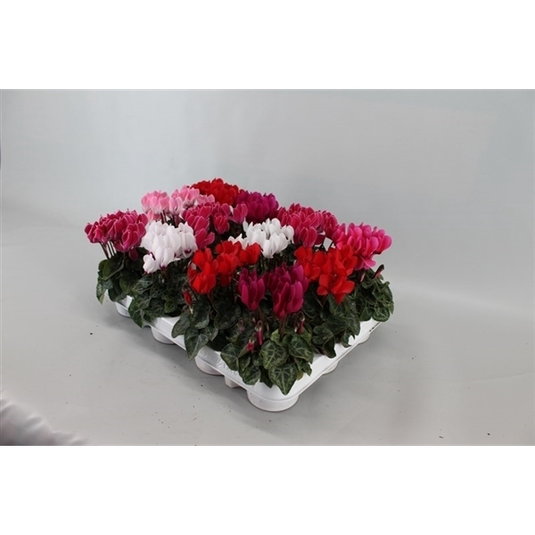 <h4>Cyclamen Super Serie Verano mini</h4>