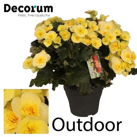 <h4>Begonia ''belove Yellow'' Outdoor</h4>