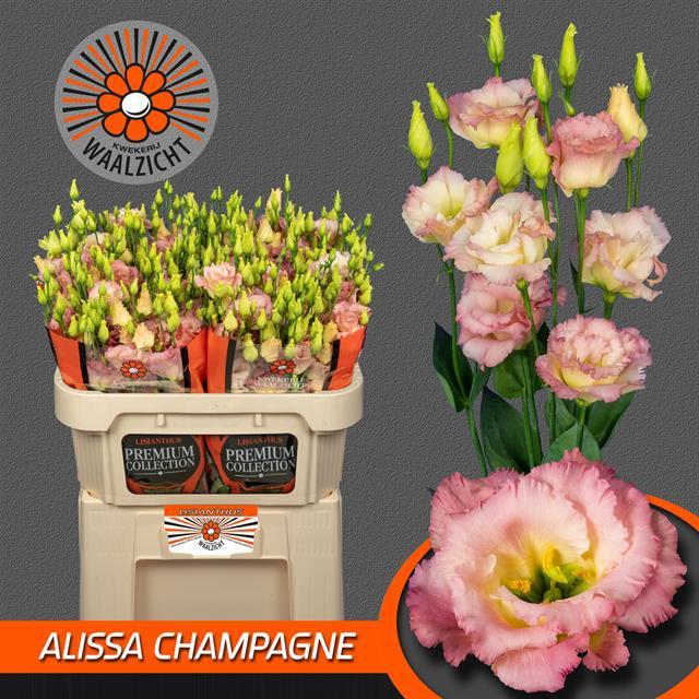 <h4>EUS G ALISSA CHAMPAG</h4>