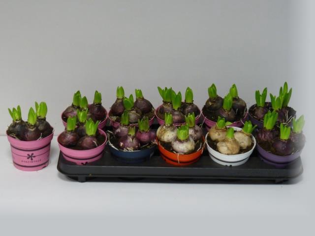 <h4>Hyacin Gem 5 Kl</h4>