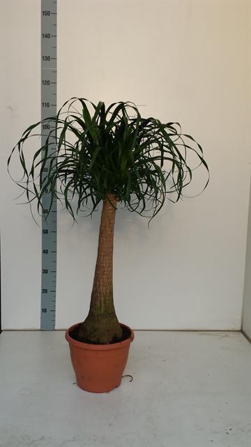 <h4>Nolina Recurvata (Beaucarnea) 26Ø 100cm</h4>