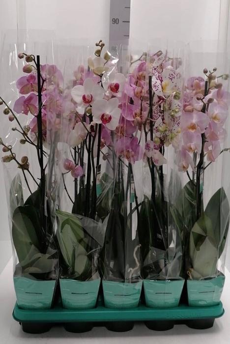 <h4>Phalaenopsis Decorum Mix 12Ø 65cm</h4>