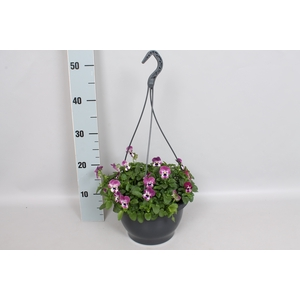 Hangpot 23 cm viool Cornuta Raspberry