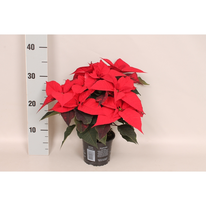 <h4>Poinsettia 13 cm Christmas Feelings® Red</h4>