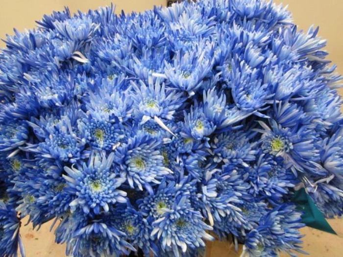 <h4>Chr T Topspin Blauw</h4>