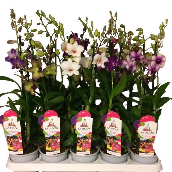 <h4>Dendrobium Sa-Nook mix 4 colors</h4>