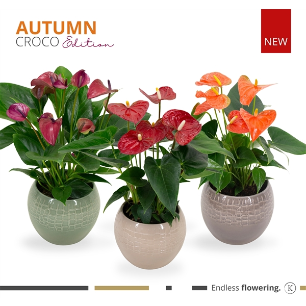 <h4>KARMA - Autumn Mix Anthurium | Croco 3-Color Mix</h4>