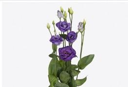 <h4>Lisianthus Rosita Blue</h4>