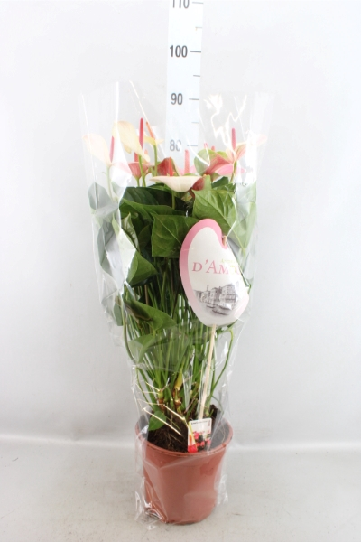 <h4>Anthurium andr. 'Fantasy Love'</h4>