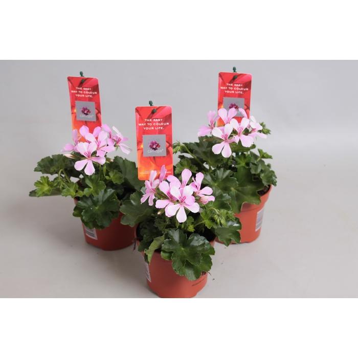 <h4>Pelargonium Calliope Cascade Appelblossom</h4>