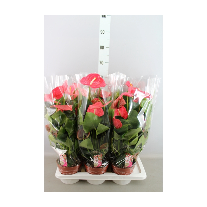 <h4>Anthurium andr. 'California'</h4>