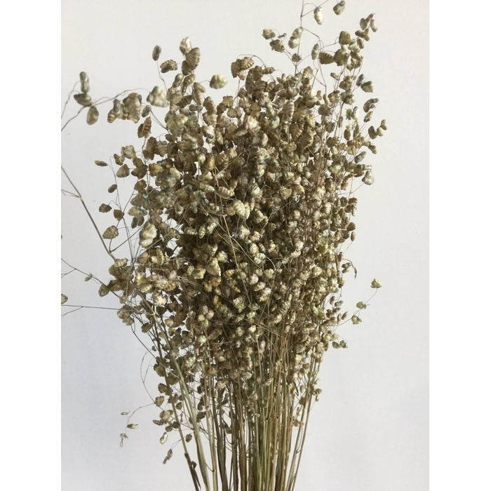 <h4>DRIED FLOWERS - GRASS BRIZA</h4>