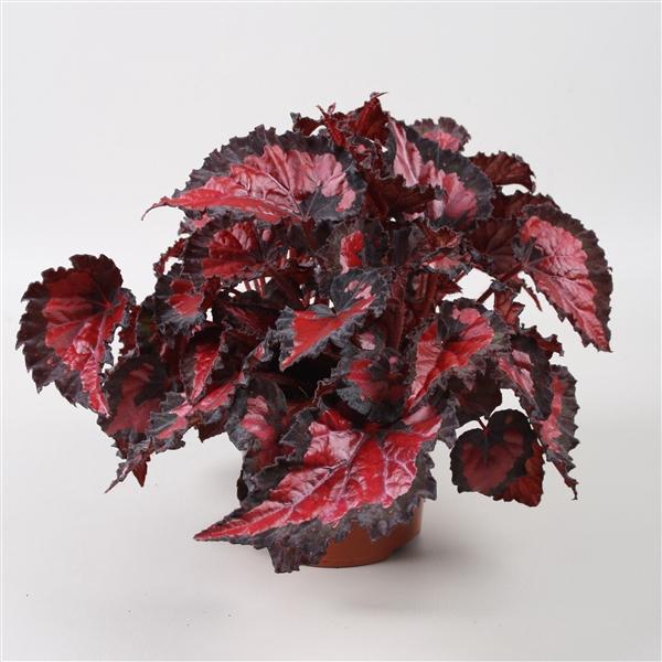 <h4>Begonia Beleaf Inca Night</h4>
