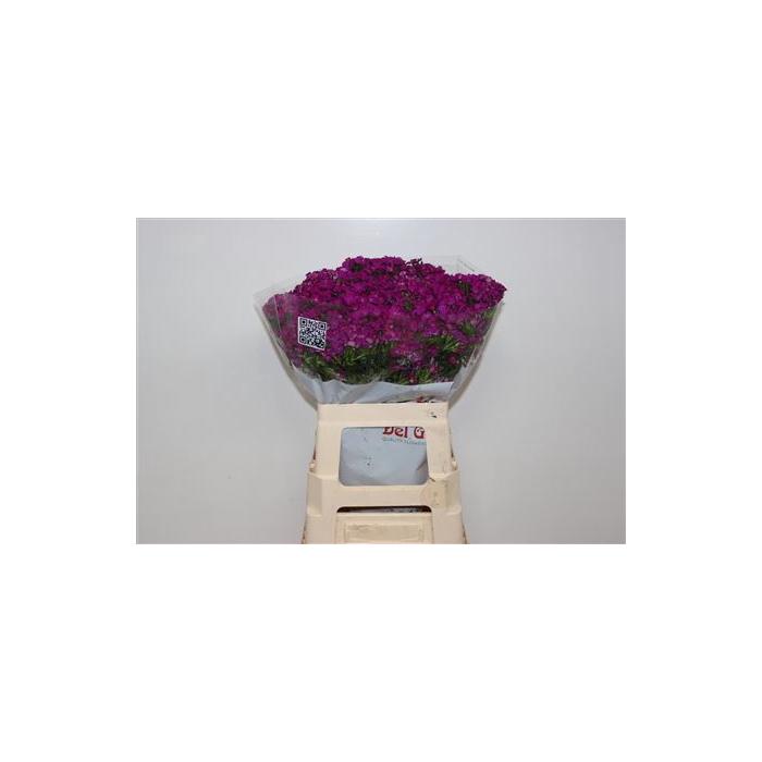 <h4>Di Ba Am Neon Purple</h4>
