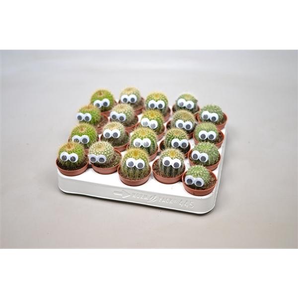 <h4>Cactus mix 5,5 cm. met oog</h4>