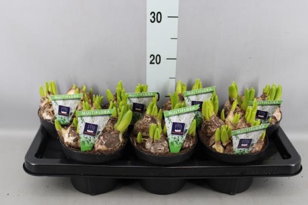 <h4>Hyacinthus orie. 'Multifl'  ..</h4>