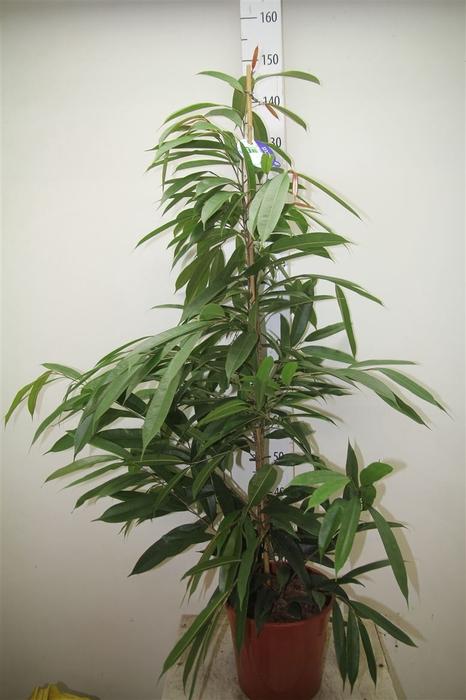 <h4>Ficus Amstel King</h4>