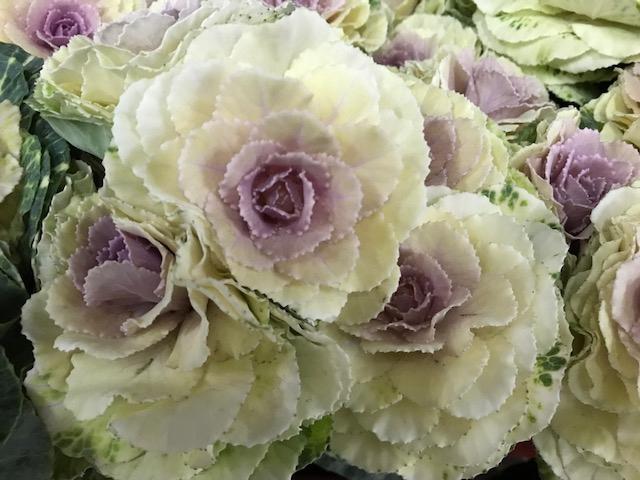 <h4>Brassica White (Kale)</h4>