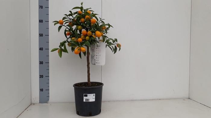 <h4>Citrus PPP japonica Kumquat</h4>